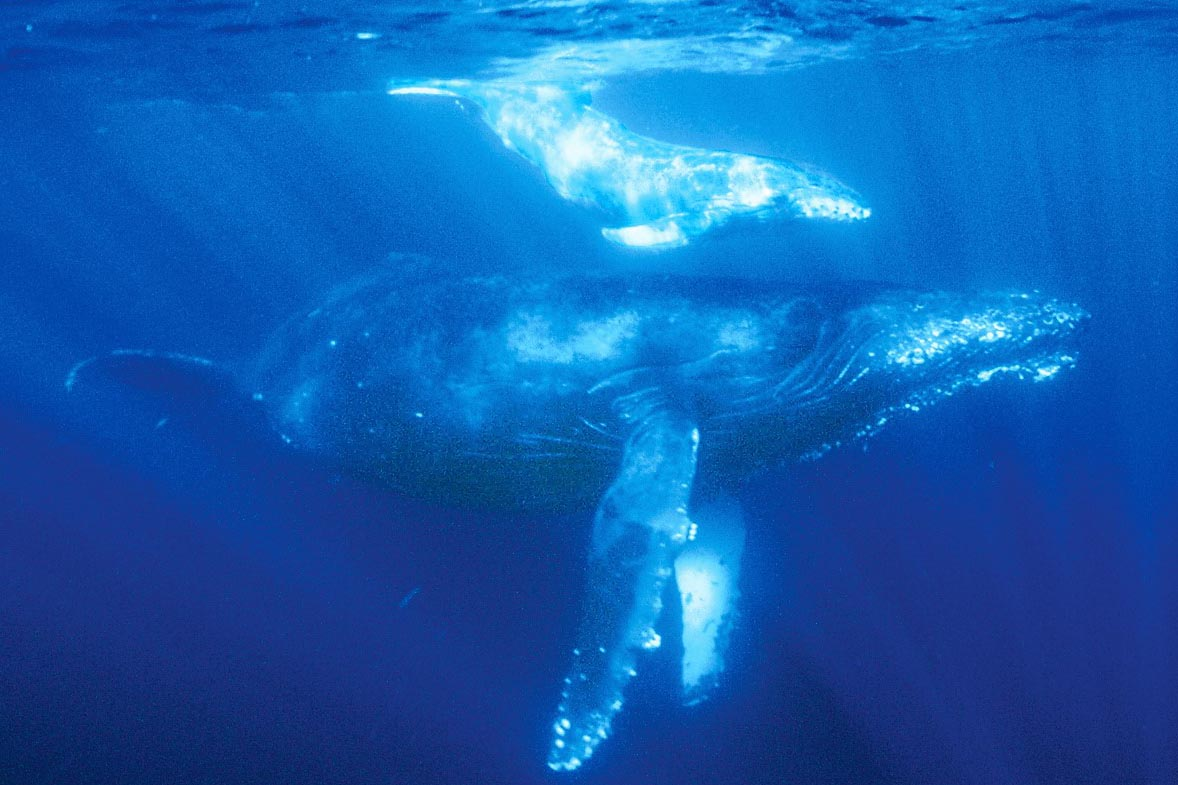 8k撮影のザトウクジラや紺碧の海が高画質uhd Bdに 世界自然遺産